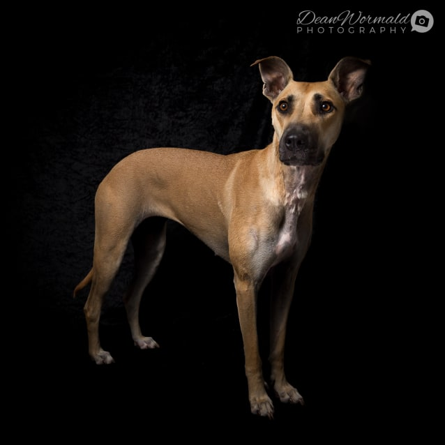 Photo of Luna ~ Greyhound X (On Trial 18/3/2018)