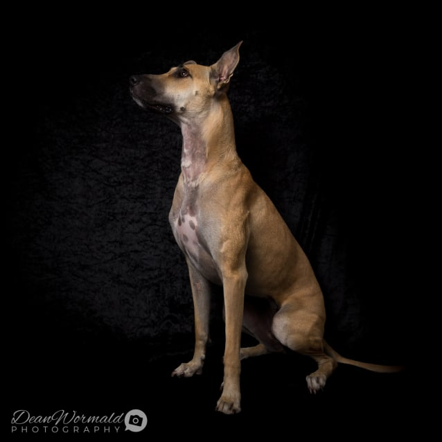 Photo of Luna ~ Greyhound X (On Trial 12/6/2018)