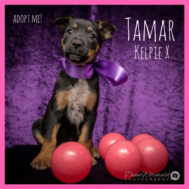 Photo of Tamar ~ Kelpie X Puppy (On Trial 22/2/18)