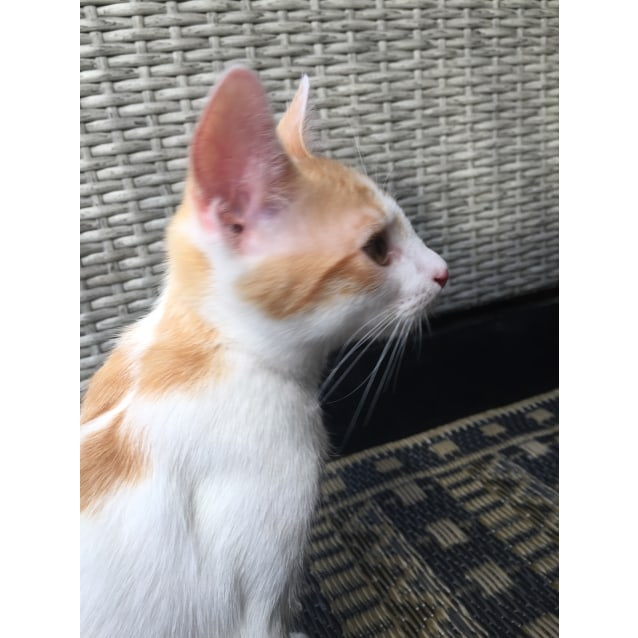 Photo of Atlas ~ Kitten (On Trial 7/5/2018)