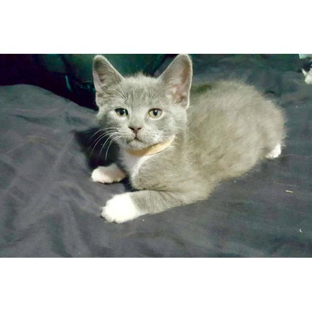 Photo of Charlotte The Super Social Pretty Grey Kitten!