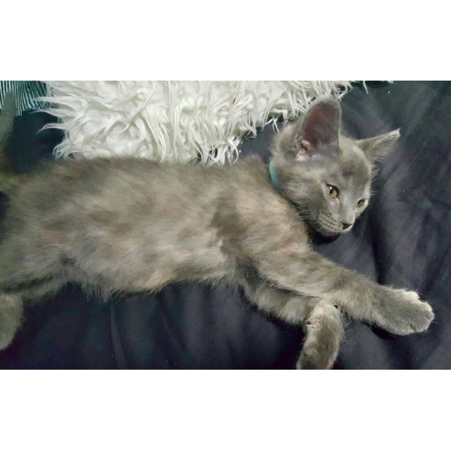 Photo of Lilly Bell The Cheeky Grey Tortie Kitten!