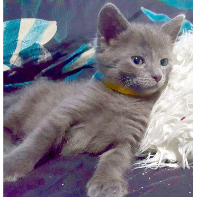 Photo of Lucy Lu The Energetic Grey/Blue Kitten!