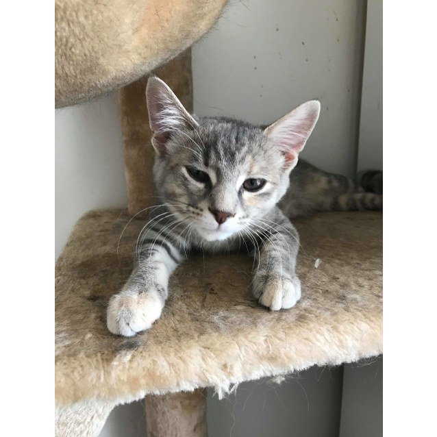 Photo of Ash The Bubbly Grey Tabby Kitten!
