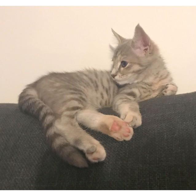 Photo of Ash The Bubbly Grey Tabby Kitten!