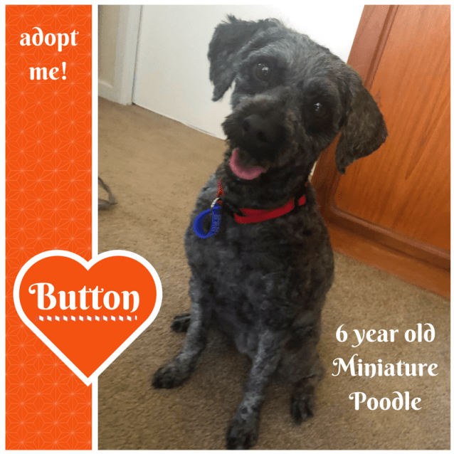 Photo of Button ~ Miniature Poodle (On Trial 24/2/2018)