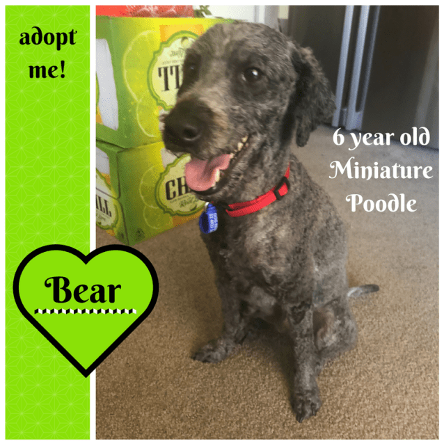 Photo of Bear ~ Miniature Poodle (On Trial 24/2/2018)