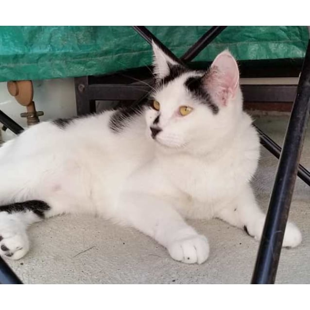 Photo of Frankie **2nd Chance Cat Rescue**