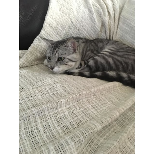 Photo of Tiggi The Grey Tiger Tom Cat