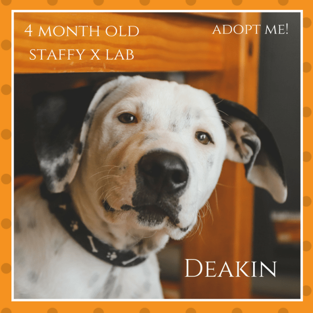 Photo of Deakin ~ Staffy X Lab (On Trial 25/2/2018)