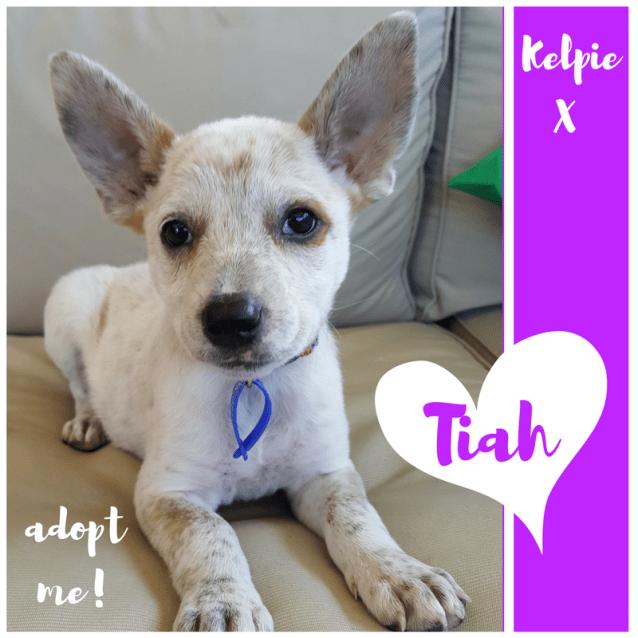 Photo of Tiah ~ Adorable Kelpie X Puppy