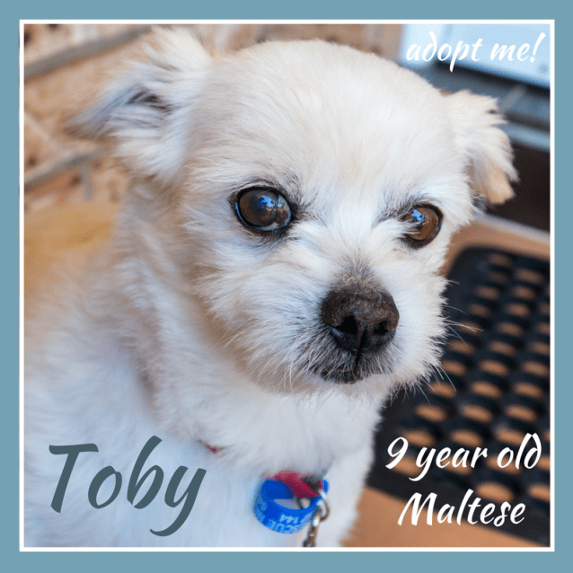 Photo of Toby ~ 9 Year Old Maltese (On Trial 16/2/2018)