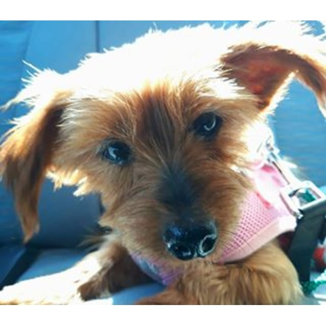 Photo of Lola The Silky Terrier