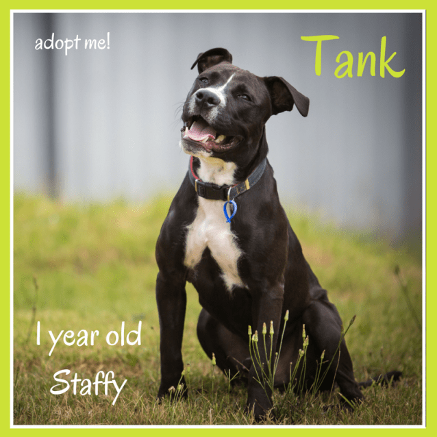 Photo of Tank ~ 1 Year Old Staffy (On Trial 11/3/2018)