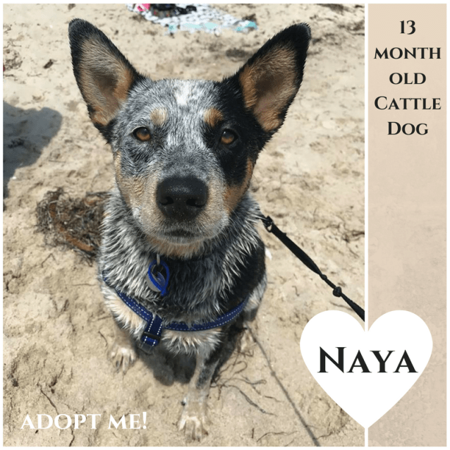 Photo of Naya ~ 13 Month Old Cattle Dog