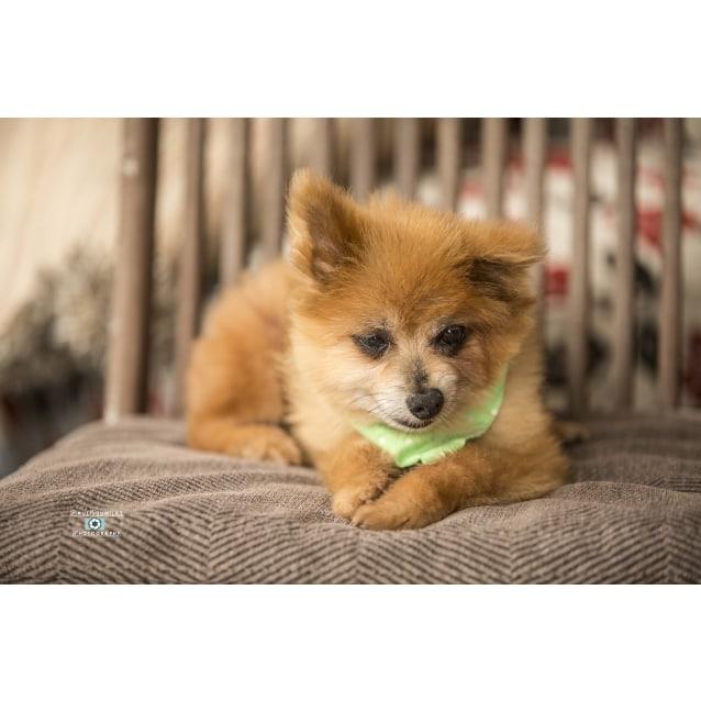Photo of Buster And Carey ~ 11 Yo Pomeranian X Pair