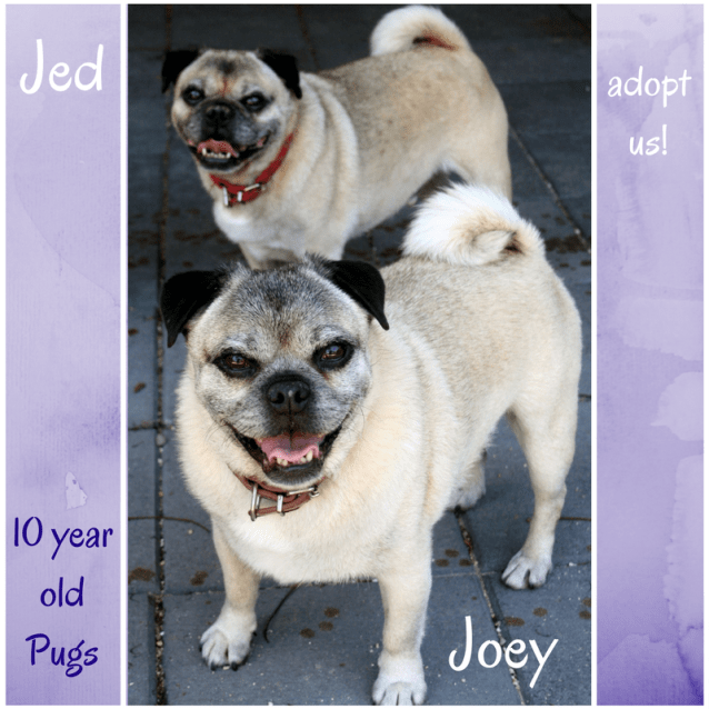 Photo of Jed And Joey (On Trial 25/2/18) ~ Pugs