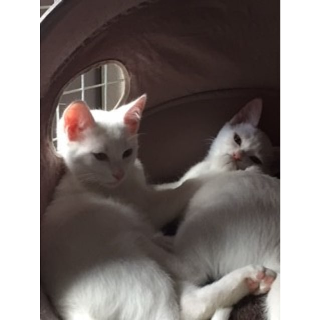 Photo of Snowball The Pure White Princess Kitten!