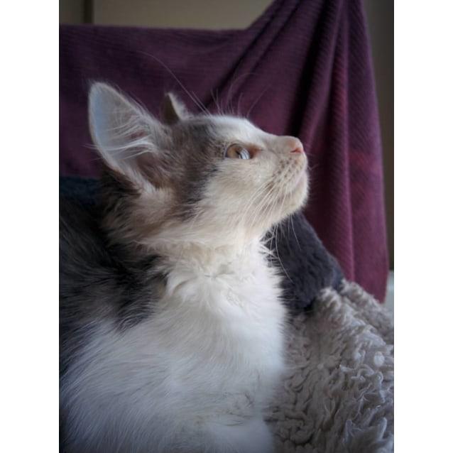 Photo of Mutsi The Tufty Outspoken Kitten!