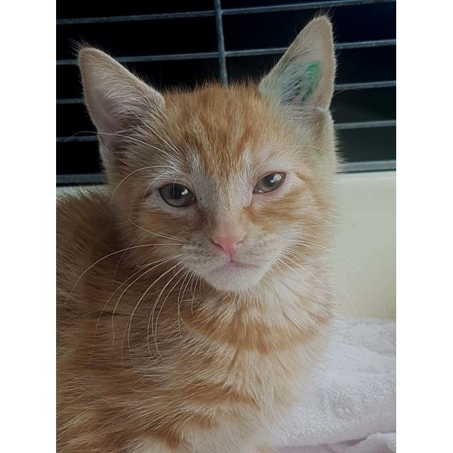 Photo of Claud **2nd Chance Cat Rescue**