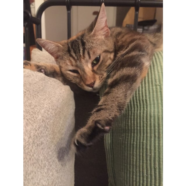 Photo of Mousey The Lanky Friendly Torbie Cat!