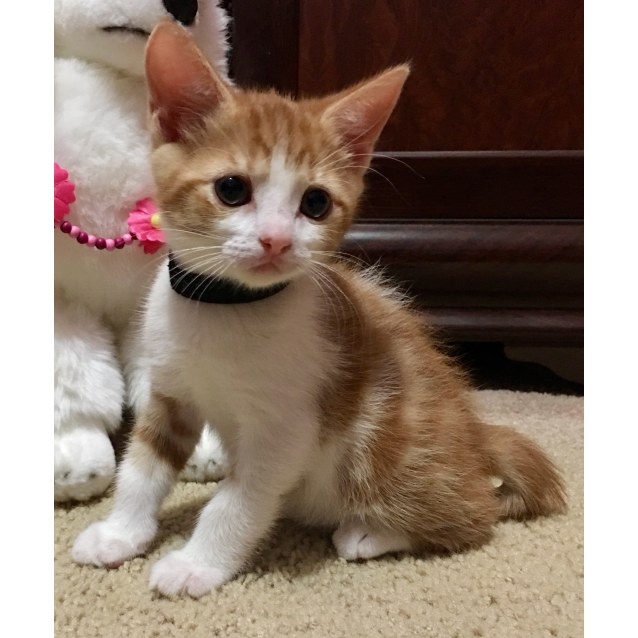 Photo of Jingles **2nd Chance Cat Rescue**