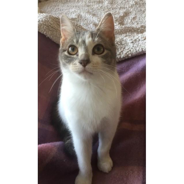 Photo of Octavia The Royally Gorgeous Girl Kitten!