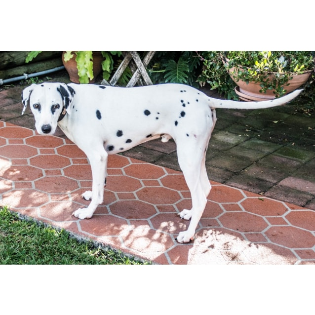 Photo of Bailey ~3.5 Year Old Dalmatian (On Trial 20/5/18)