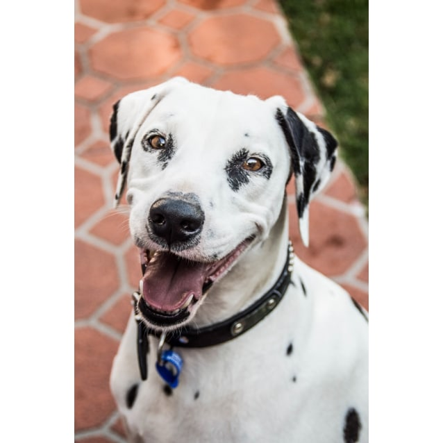 Photo of Bailey ~ 3.5 Year Old Purebred Dalmatian
