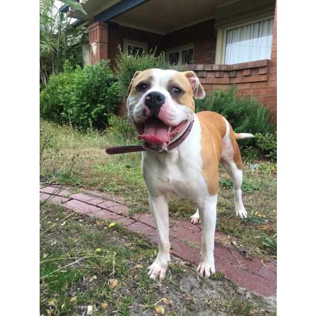 Photo of Coco American Bulldog