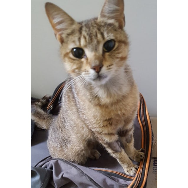 Photo of Minerva The Friendly Oriental Tabby Cat!