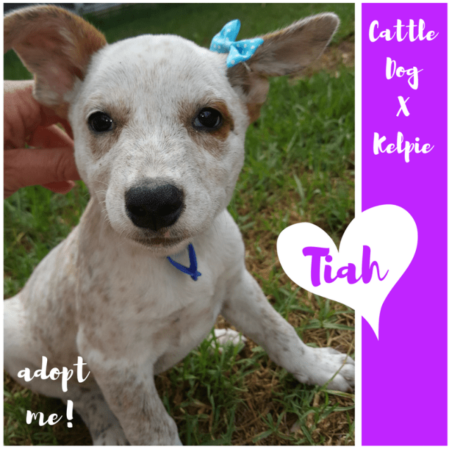 Photo of Tiah ~ Cattle Dog X Kelpie (On Trial 23/3/2018)