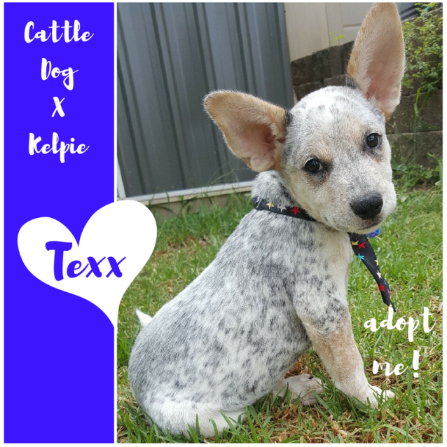 Photo of Texx ~ Cattle Dog X Kelpie (On Trial 25/3/2018)