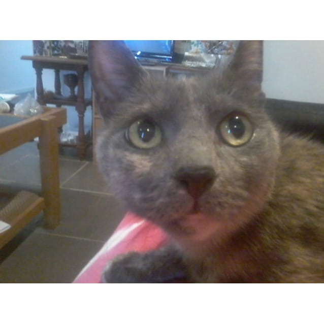 Photo of Miss Marple The Sweetest Lap Cat Ever!