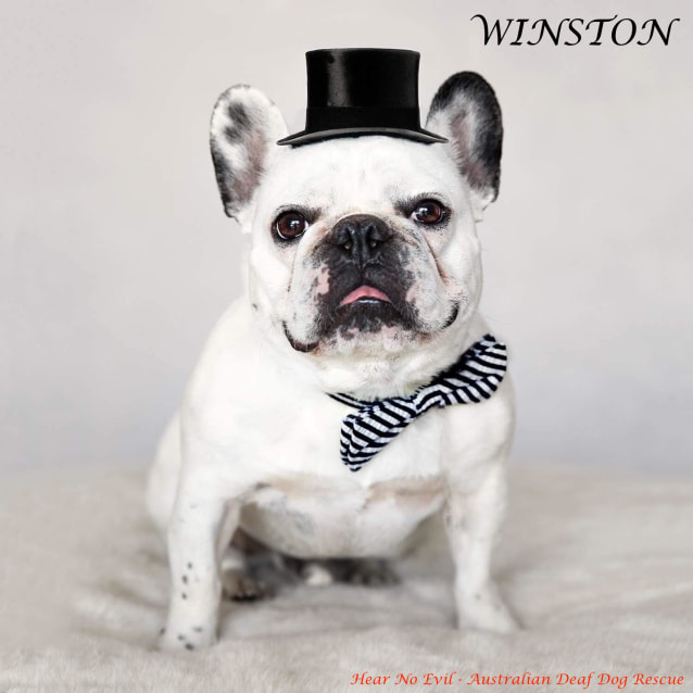 Winston Small Male French Bulldog Dog In Vic Petrescue