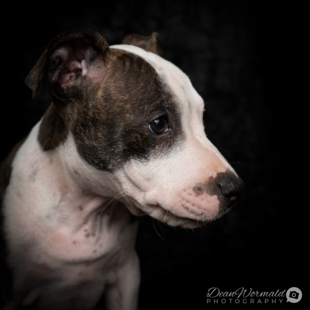 Photo of Zip ~ American Staffy X Puppy (On Trial 19/3/2018)