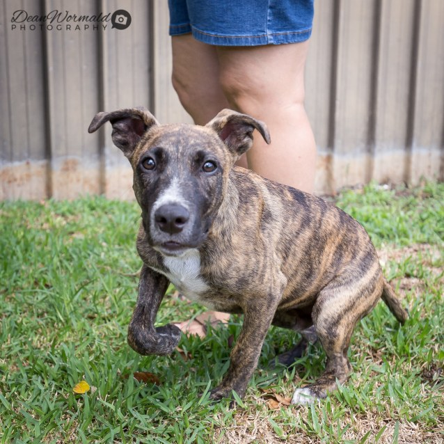 Photo of Rusty ~ 5 Month Old Staffy X (On Trial 16/3/2018)