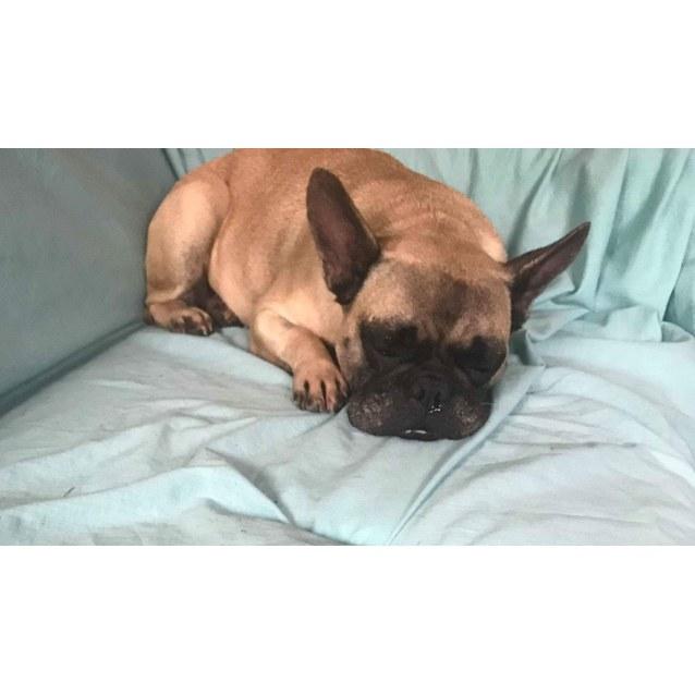 Annie - Small Female French Bulldog Dog in NSW - PetRescue