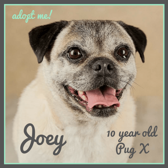 Photo of Joey ~ Pug X (On Trial 14 4 2018)