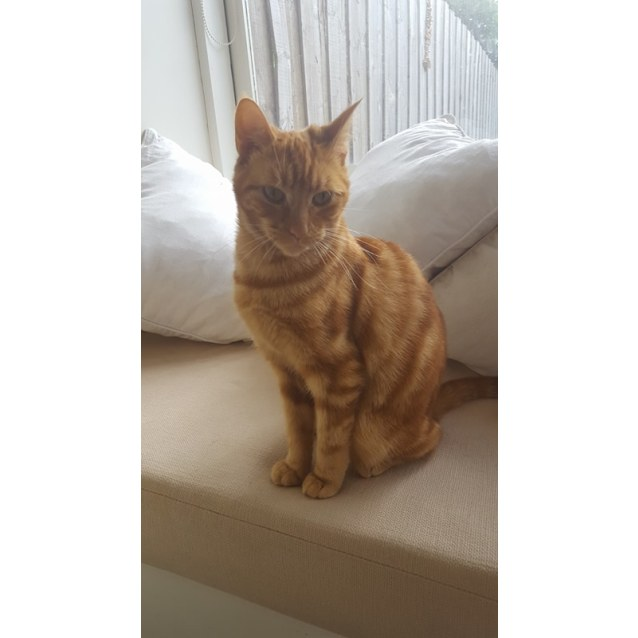 Photo of Daisy The Delightful Ginger Girl Cat!