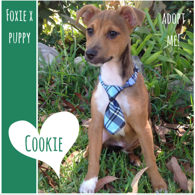 Photo of Cookie ~ Foxie X Puppy (On Trial 22/3/2018)
