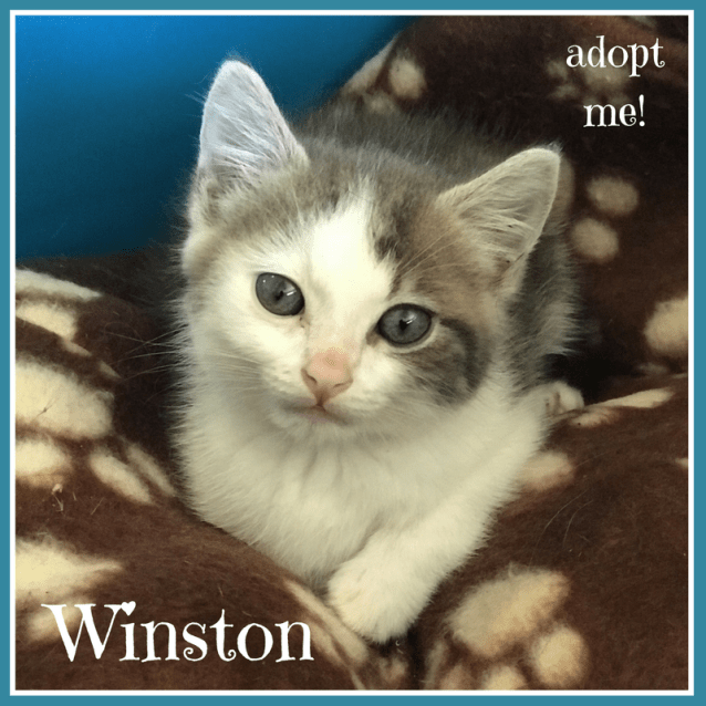 Photo of Winston ~ Kitten