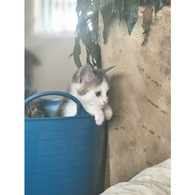 Photo of Apollo ~ Kitten (On Trial 6 4 2018)