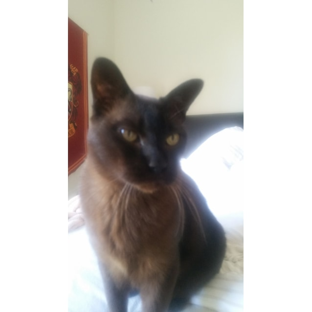 Photo of Chaser The Dashing Burmese Cat