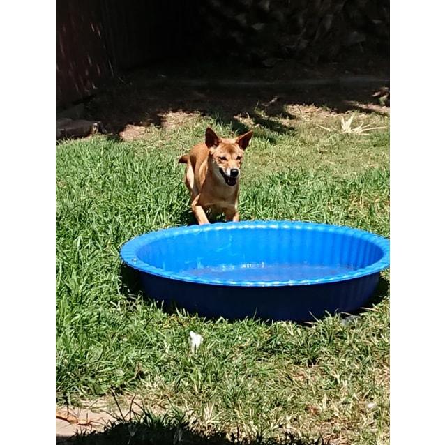 Photo of Apple  Dingo