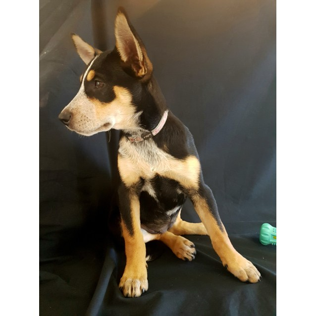 Photo of Misty ~ Kelpie X Cattle Dog (On Trial 7/4/2018)