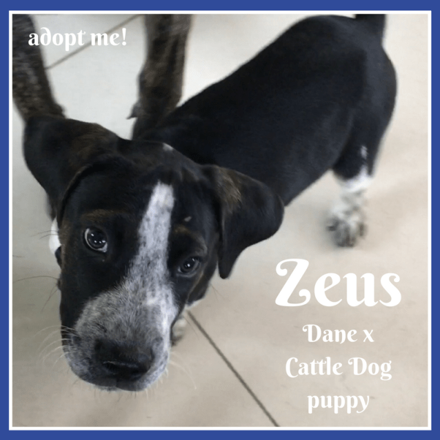 Photo of Zeus ~ Dane X Cattle Dog (On Trial 16/3/2018)