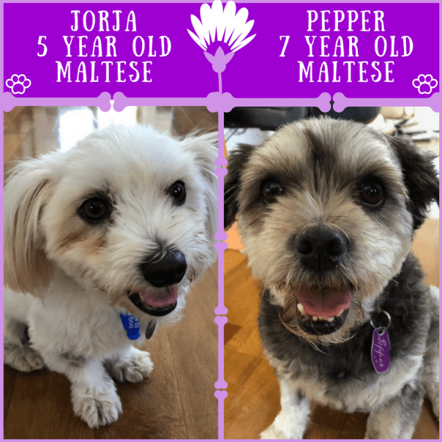 Photo of Pepper And Jorja ~ Maltese (On Trial 25/3/2018)