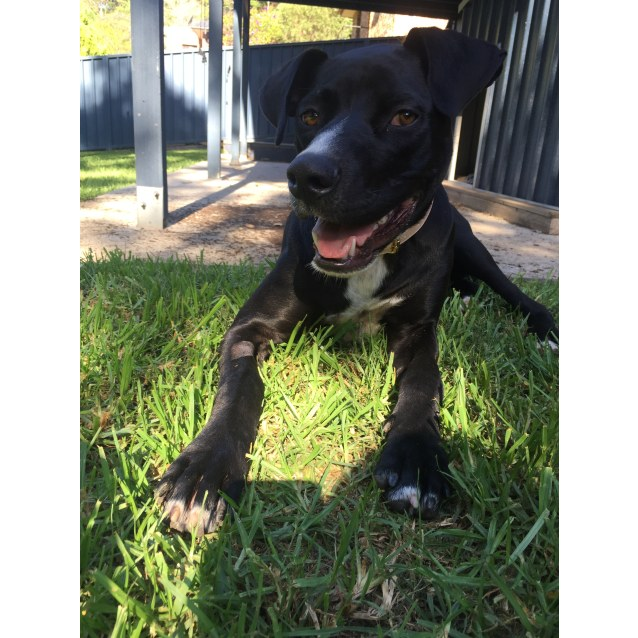 Photo of Lucy ~ 10 Month Old Dane X Kelpie