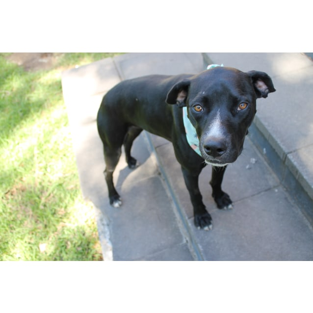 Photo of Lucy ~ Dane X Kelpie (On Trial 7 4 2018)